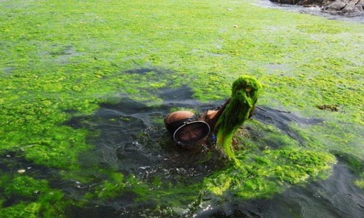 علماء أمريكيون: الطحالب يمكنها تنظيف مياه الصرف الصحى والصناعى