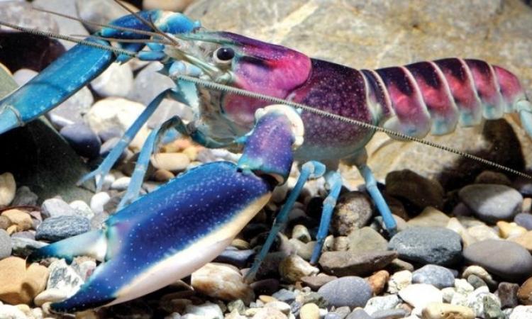 بالصور والفيديو .. لمحبى المخلوقات الجميلة.. هل شاهدتم جراد البحر الملون من قبل ؟