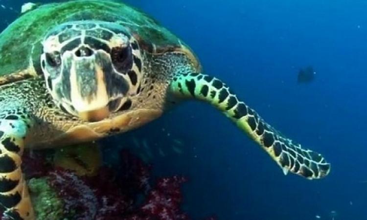 مادة البلاستيك تهدد السلاحف البحرية بالانقراض