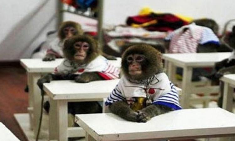 الصين تفتتح أول مدرسة للقرود حول العالم