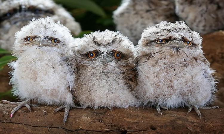 صور طريفة لطيور صغيرة تدى على بوم بمنقار ضفادع !!