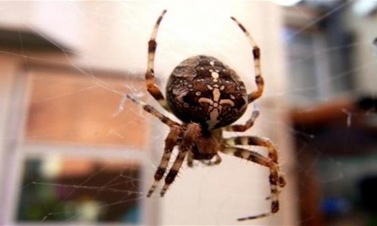 الشرطة الأسترالية تداهم منزل رجل حاول قتل عنكبوت