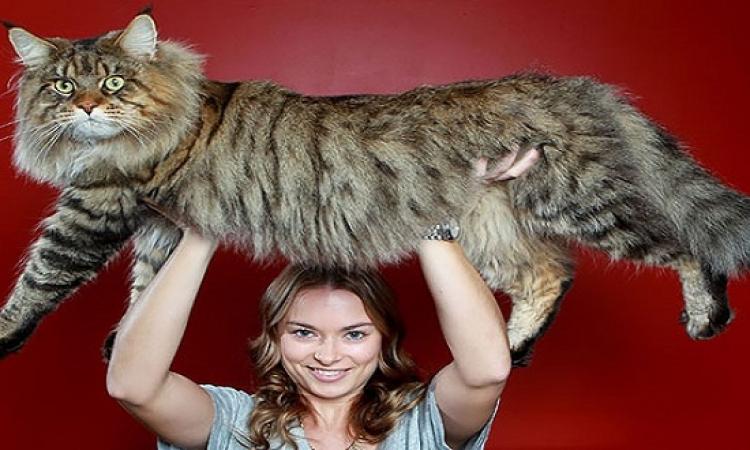 بالصور .. قطط بس كبيرة شوية .. حجم عائلى يعنى !!