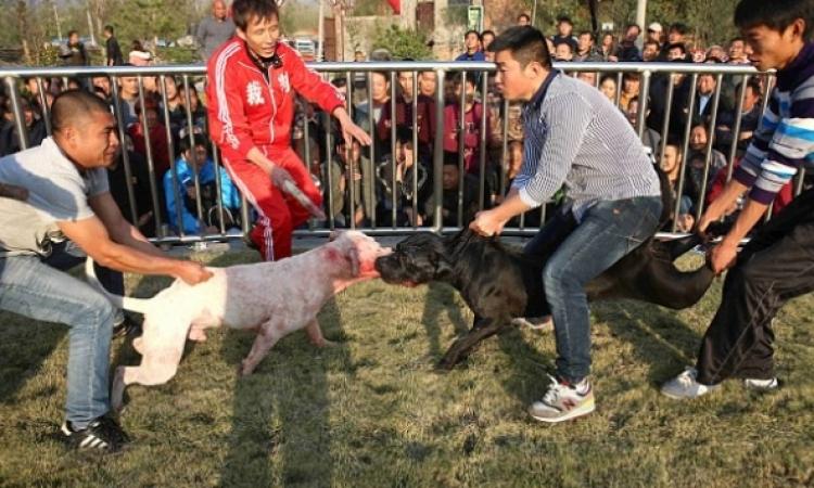 بالصور .. مصارعة الكلاب فى الصين .. بيقطعوا بعض !!