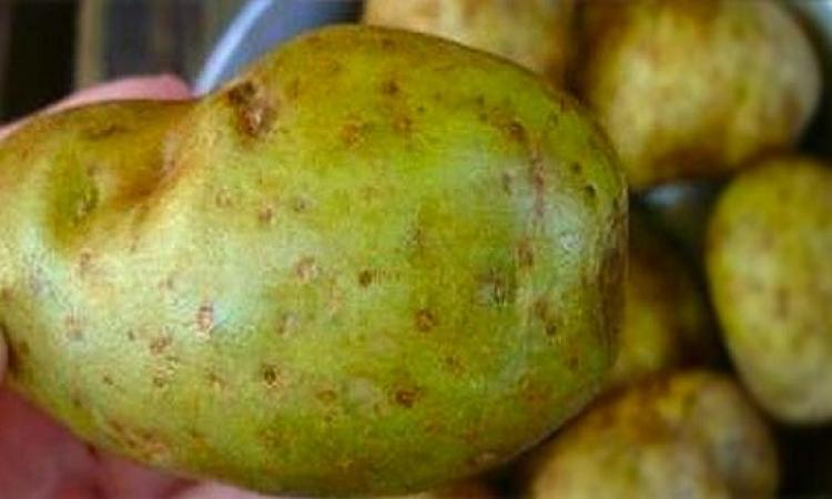احذر .. البطاطس ذات القشرة الخضراء بها سم خطير!!