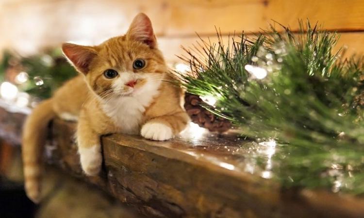 بالصور .. قطط تساعد فى تزيين شجرة الكريسماس