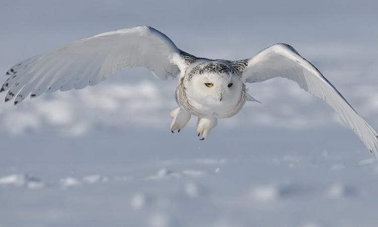 بالفيديو .. تحليق نادر لبومة الثلج فى سماء مونتريال