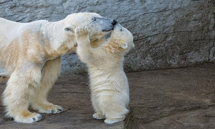 صور طريفة لصغار الدببة القطبية .. زى الأطفال بالضبط !!