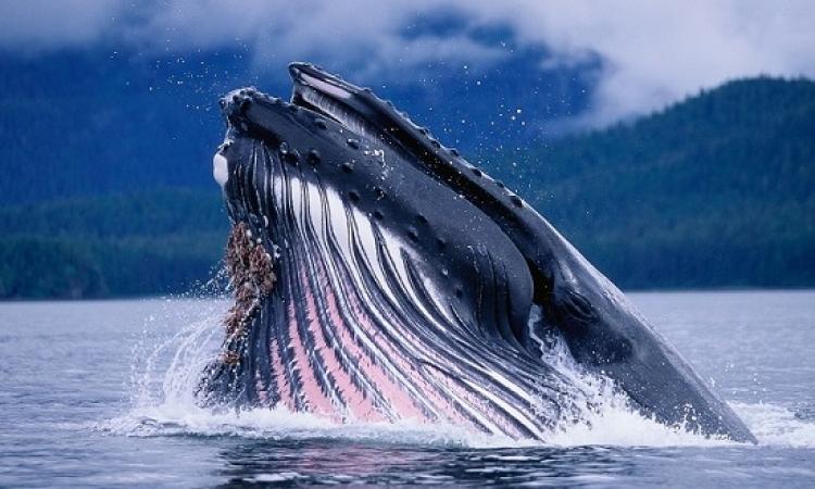 لعشاق الحيتان .. صور مذهلة لأكبر كائنات الأرض!!