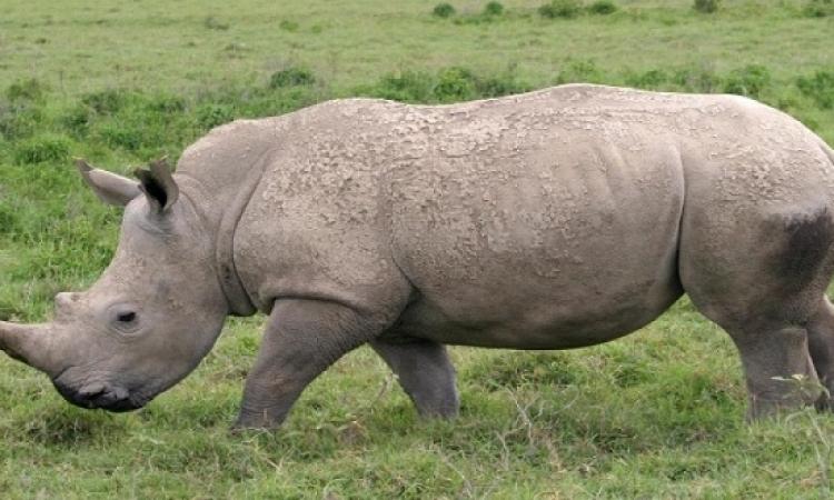 الصيد الغير مشروع يهدد بحياه وحيد القرن بجنوب افريقيا