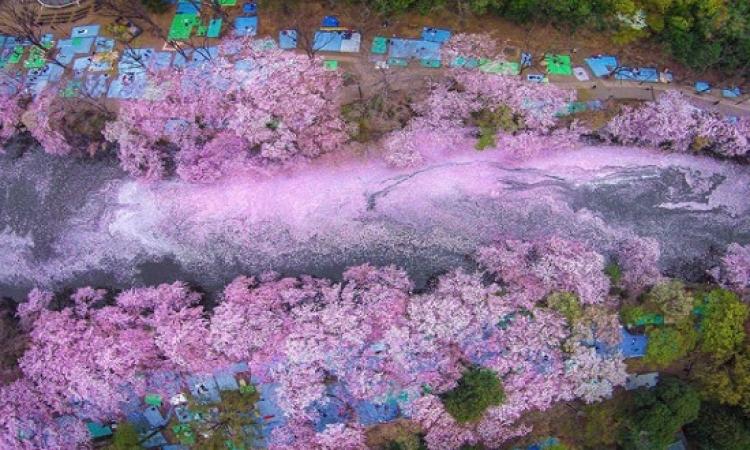 صور مذهلة لاشجار الكرز الرائعة فى اليابان فى بدايات الربيع