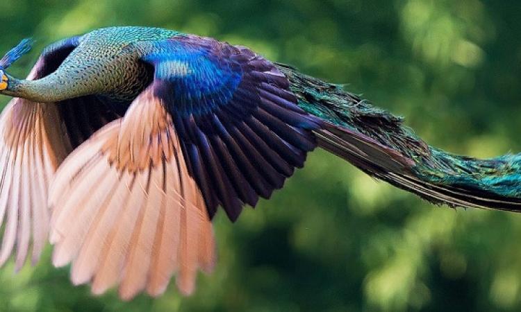 صور مذهلة للطاووس وهو يطير .. طيران ملكى !!