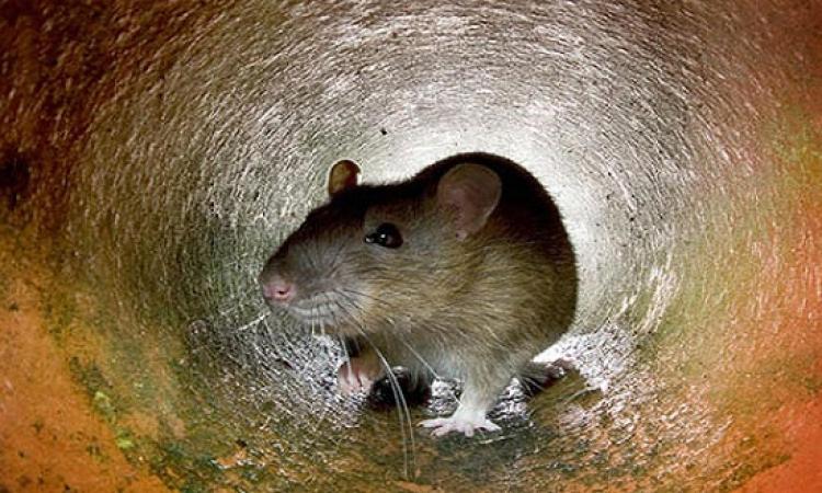 بالصور .. العثور على فأر عملاق اضخم من الكلب ببريطانيا