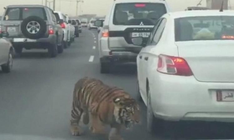 بالفيديو .. نمر ضخم حر طليق يتجول فى شوارع قطر !!