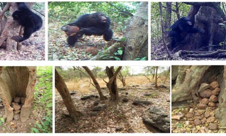 رصد طقوس تعبدية تقوم بها قردة الشمبانزى