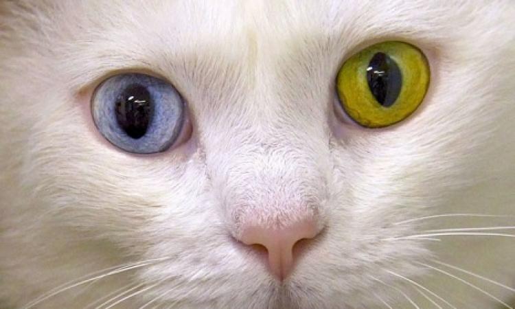 بالصور .. سنو وايت القطط .. عين خضرا والتانية زرقا !!