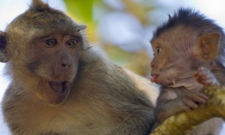 حكاية المثل الشعبى .. القرد ف عين أمه غزال