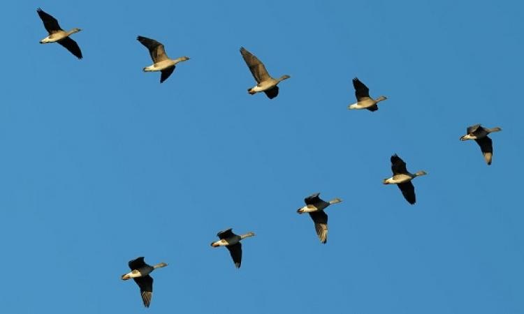 سر تحليق الطيور الدائم فى أسراب .. على شكل V ؟!