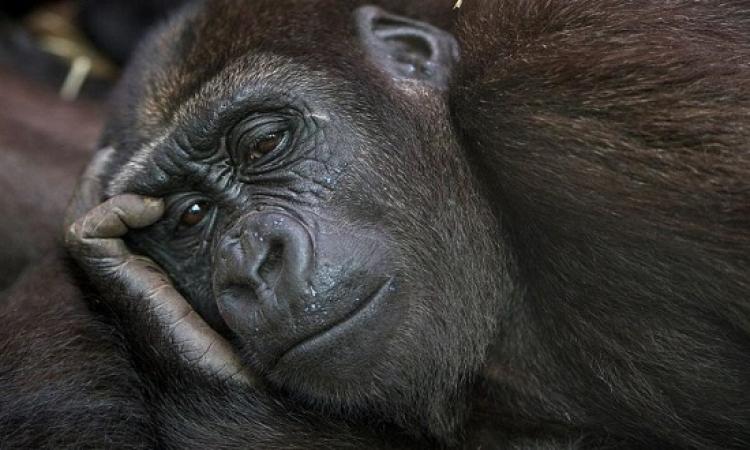 اكتشاف شمبانزى تسكر فى غينيا .. بتعمل دماغ !!