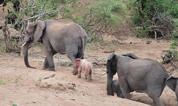 أنثى فيل تقتل طفلة بحجر فى حديقة حيوان الرباط !!