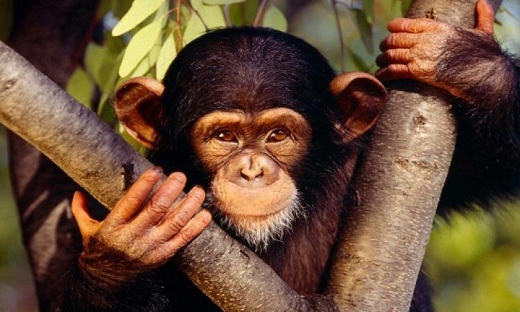 الصداقات وتقليصها .. مجال آخر تقلد فيه القرود البشر
