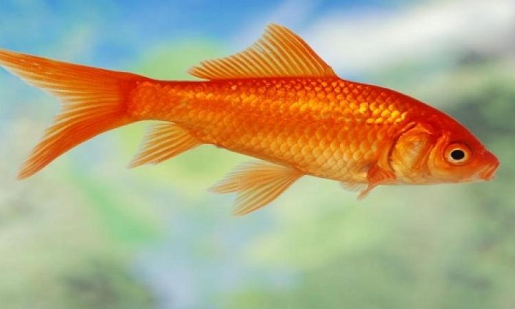 تخلص من «جولدفيش» بحوضك السمكى فورا .. أو اقتلها !!