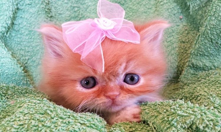 تعرف على الفوائد الصحية لتربية القطط بالمنزل