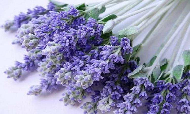 """دراسة تنصح باستخدام عطر النبات البرى """"اللافندر"""""""