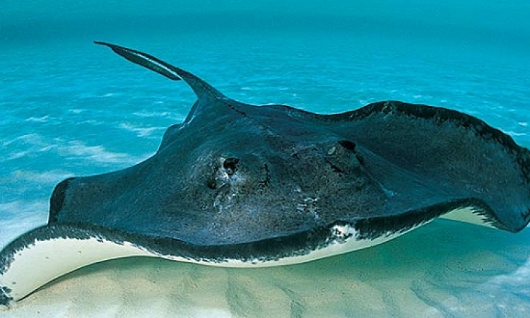 سمك Stingray الجميل قادر على مضغ الطعام