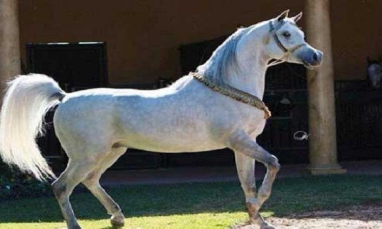 رفع حظر استيراد الخيول من مصر