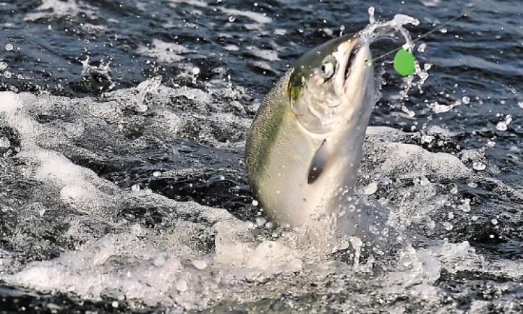 هروب 80 ألف سمكة .. ومكافأة لمن يمسك بها ؟!!