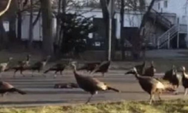 بالفيديو..مشهد غريب لمجموعة من الديوك الرومى تلف فى دائرة حول قط ميت