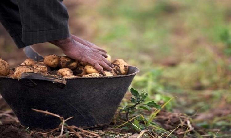 إجراءات وزارة الزراعة لزيادة محصول البطاطس