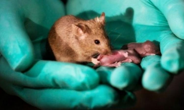 فأرتان تتمكنان من الإنجاب دون الحاجة إلى ذكر