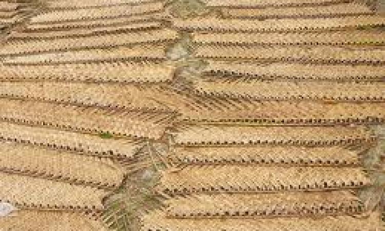 وزارة الزراعة تكشف تهريب سعف النخيل إلى إسرائيل