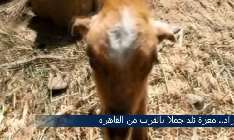 """خاص للموقع.. بالفيديو معزة تلد """"جمل"""" يامثبت العقل"""