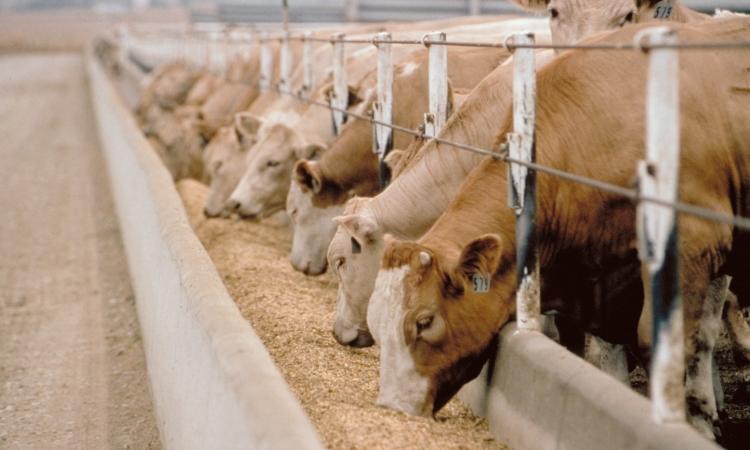 «الزراعة» توزع 500 رأس ماشية كمنحة على المحتاجين في بني سويف
