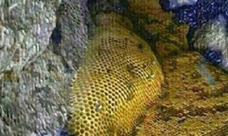 بالصور .. اكتشاف أنهار من عسل في جبل باليمن