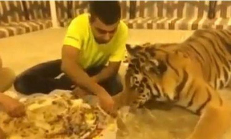"فيديو .. شاب سعودي يُطعم نمرا ""كبسة"""