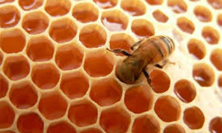 علماء سويديون يكتشفون  نوعا من البكتيريا في معدة النحل تستطيع مقاومة الجراثيم الفائقة
