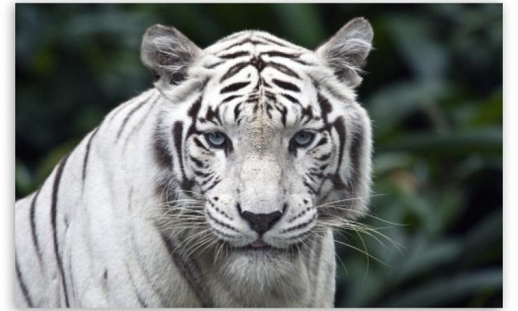 نمر يقتل شابا قفز إلى خندقه بالهند