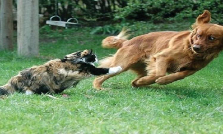 بالفيديو .. شاهد كيف تستطيع القطط ترويع الكلاب