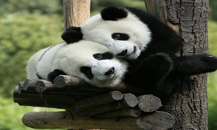 بالصور..تعرف على حيوان الباندا