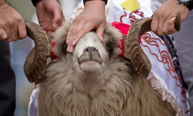 «الزراعة» تصدر خطوات الذبح الشرعي لخروف العيد