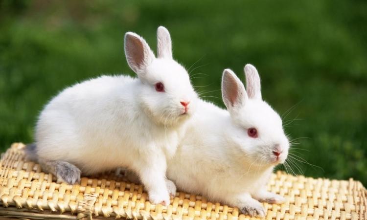 تعرف على بعض فوائد لحم الأرانب