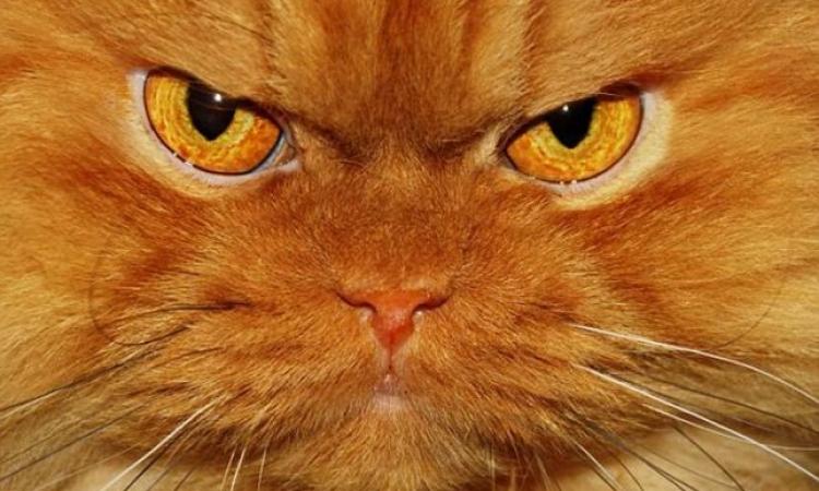 قطة تصل إلى الشهرة بسبب تعابير وجهها الغاضب