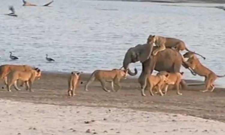 بالفيديو .. فضيحة هروب 14 أسد من فيل صغير !!