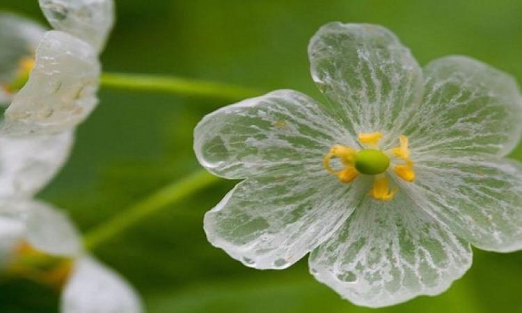 الزهرة المتحولة في المطر