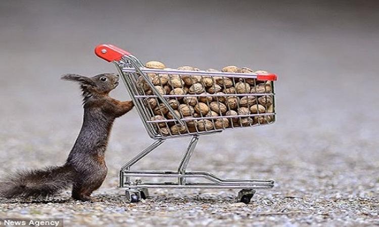 بالصور .. مجموعة من السناجب تتسوق قبل حلول الشتاء