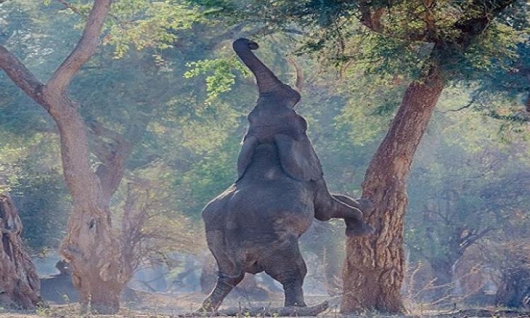 فيل يتحول الى زرافة للحصول على الغذاء